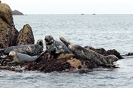 Seals on the Eastern Isles, Scilly, Cornwall.